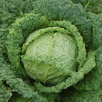 Cabbage- Famosa F1