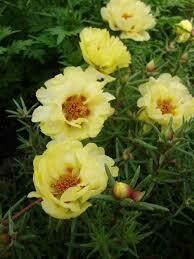 Moss Rose- Sundial Yellow- 4 Pack