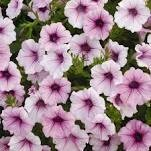 Petunia- Shock Wave Pink Vein- 3
