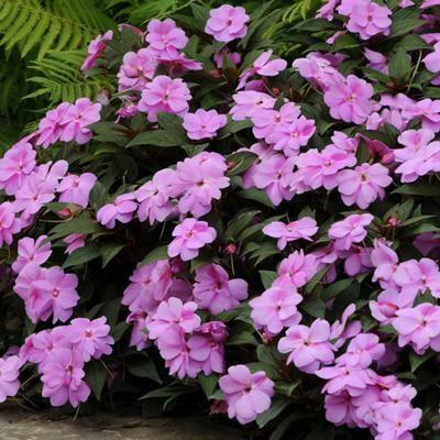 New Guinea Impatiens- Divine Lavender- 4