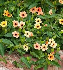 Black Eyed Susan Vine- African Sunset- 6