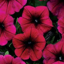 Petunia- Shock Wave Deep Purple- 3