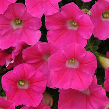 Petunia- Shock Wave Rose- 3