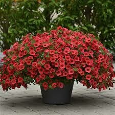 Calibrachoa- Kabloom Coral- 10