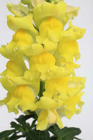 Snapdragon- Snaptastic Yellow- 4