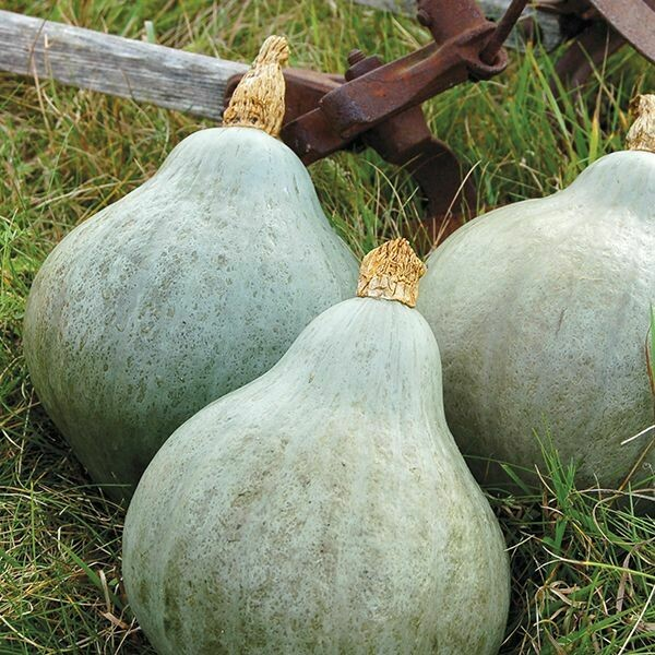 Winter Squash- Baby Blue Hubbard