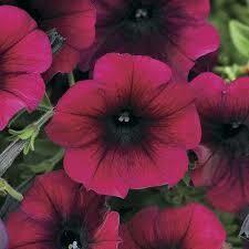 Petunia- Easy Wave Burgundy Velour-3