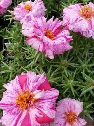 Moss Rose- Sundial Peppermint- 4 Pack