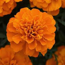 Marigold- Bonanza Deep Orange- 2 Pack