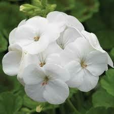 Geranium- Pinto Premium White- 3