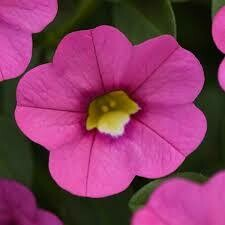 Calibrachoa- Kabloom Pink- 10