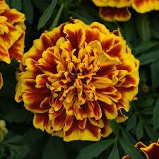 Marigold- Bonanza Bee- 2 Pack