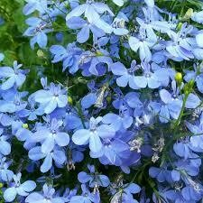 Lobelia- Regatta Sky Blue- 4 Pack