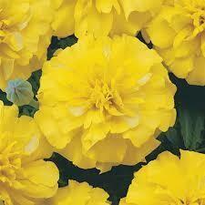 Marigold- Bonanza Yellow- 2 Pack