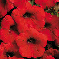 Petunia- Shock Wave Red- 3