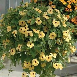 Black Eyed Susan Vine- Susie Yellow with Eye- 6