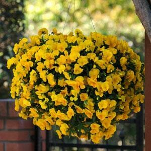 Cool Wave Pansy- Golden Yellow 6