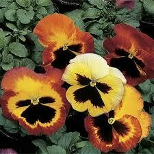 Pansy- Delta Fire- 3