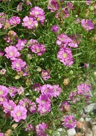 Gypsophila- Gypsy Pink- 2 Pack
