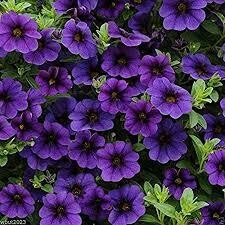 Calibrachoa- Deep Blue- 10