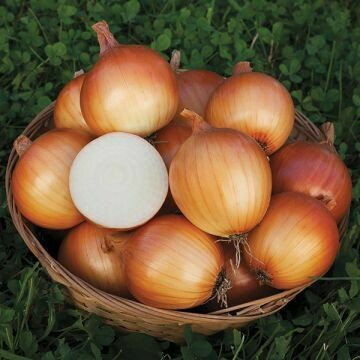 Onion- New York Early