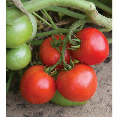 Tomato- Defiant PhR