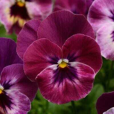 Cool Wave Pansy- Raspberry 10