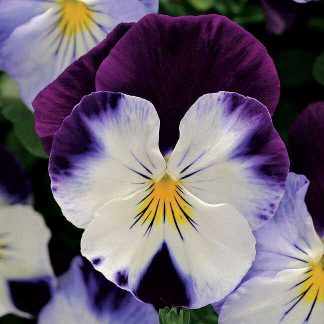 Cool Wave Pansy- Violet Wing 6
