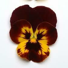 Cool Wave Pansy- Fire 10