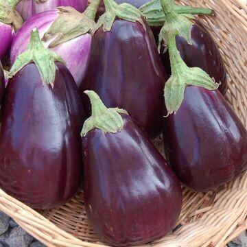 Eggplant- Black Beauty