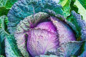 Cabbage- Deadon F1