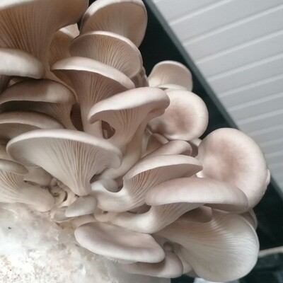 Grey Oyster Home Grow Kit