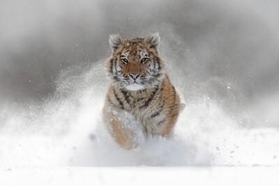 Tijger in de sneeuw 135 x 90 cm