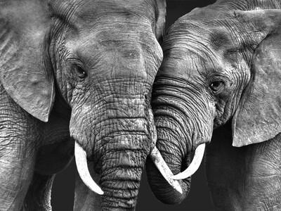 Olifanten tonen genegenheid 135 x 90 cm