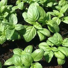 Basil - Seed