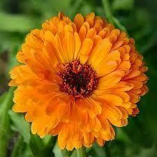 Calendula - Seed