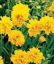 Coreopsis - Seed