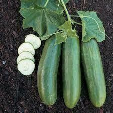 Cucumber - Seed