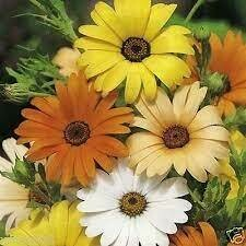 Daisy - Seed