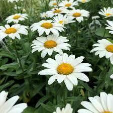 Shasta Daisy - Seed