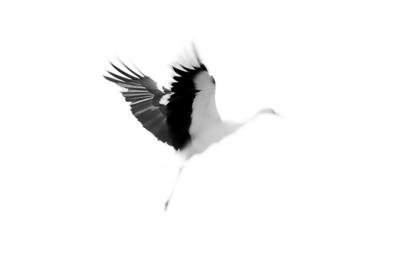 Cigogne