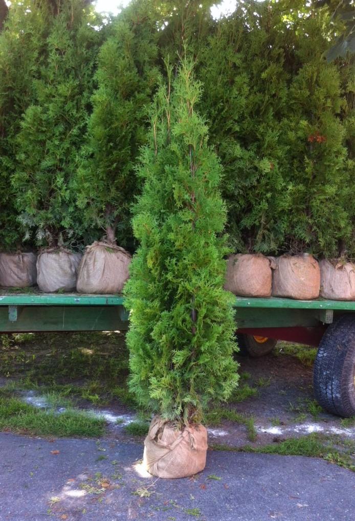 5.5 Foot Pyramidal Arborvitaes