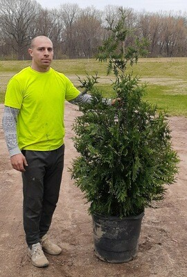 5' - 6' Foot Green Giant Arborvitaes - Rapid Growth