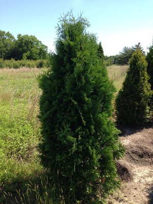 5' - 6' Foot Dark Green American Arborvitaes