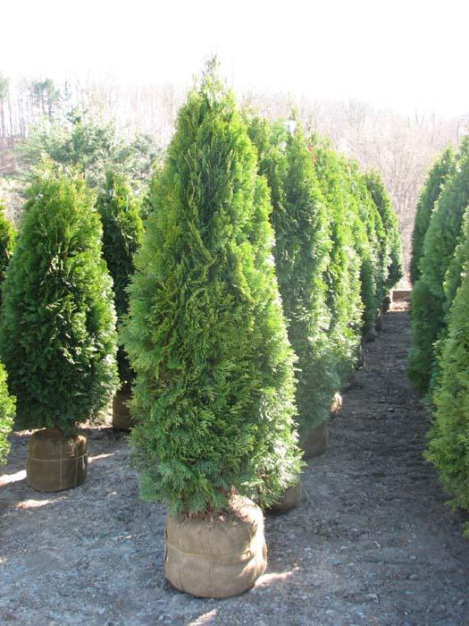 5' - 6' Foot Emerald Green Arborvitaes