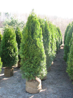 5' - 6' Foot Emerald Green Arborvitaes