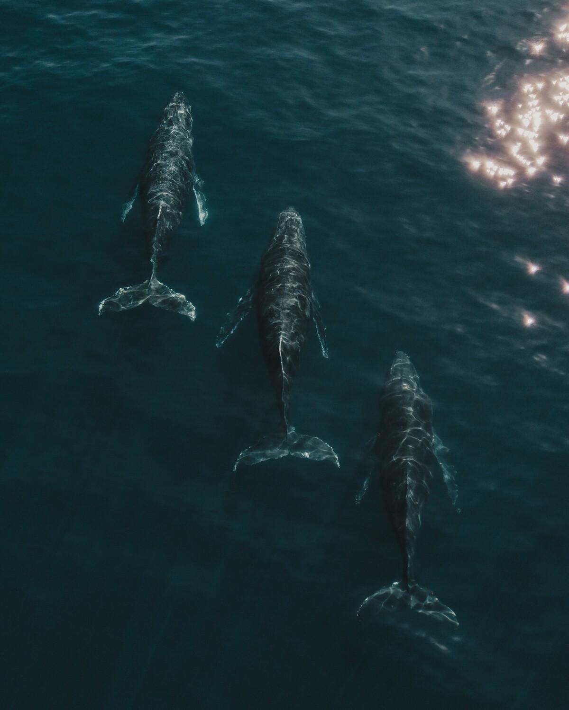 Whale Triplets Fine Art Framed Print