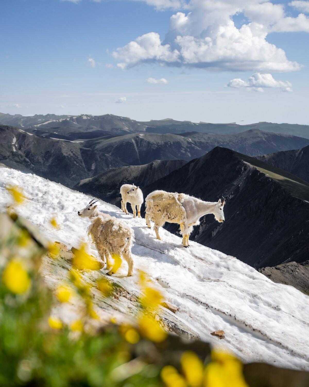"""""""Torreys Goats"""""""