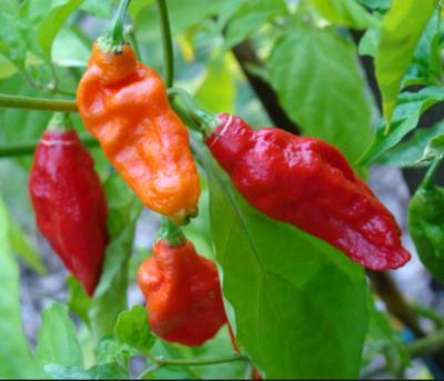 Bhut Jolokia (Ghost Pepper)