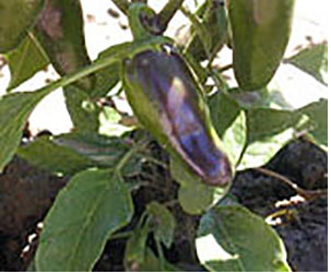 Early Jalapeño